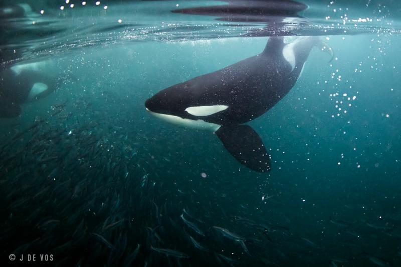 Orca & Humpback Whales – Arctic Freediving
